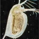 Djurplankton, t ex Daphnia, utgör god föda för små abborrar i en sjö.